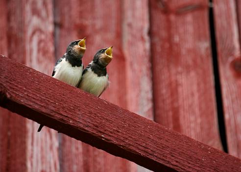 Bird「Two Swallows with Beaks Open」:スマホ壁紙(14)