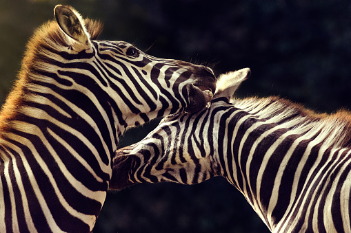 Animal Wildlife「Zebras fighting」:スマホ壁紙(8)