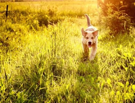 幸福「若い犬が走っている、草地」:スマホ壁紙(7)