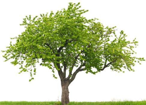 Cherry Tree「Green cherry tree or Prunus avium on grass field」:スマホ壁紙(17)