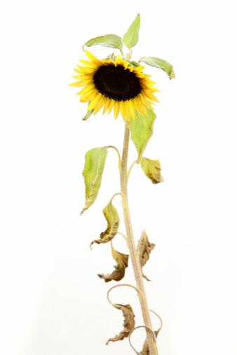 ひまわり「Unhealthy sunflower.」:スマホ壁紙(16)