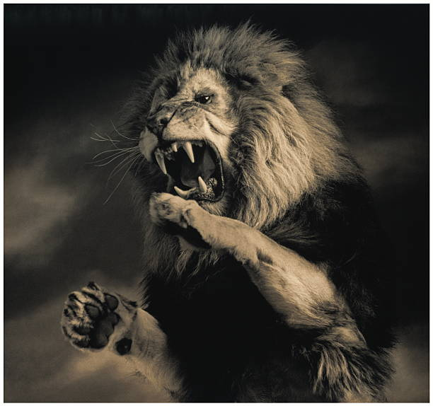 Lion (Panthera leo) on hind legs, roaring, indoors (toned B&W):スマホ壁紙(壁紙.com)