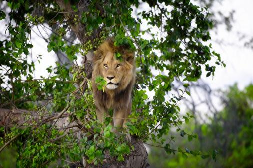 Botswana「Lion in tree, Botswana」:スマホ壁紙(19)