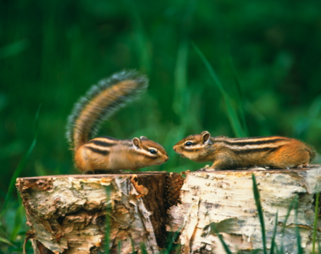 野生動物「Chipmunks on tree stumps, Biei town, Hokkaido prefecture, Japan」:スマホ壁紙(2)