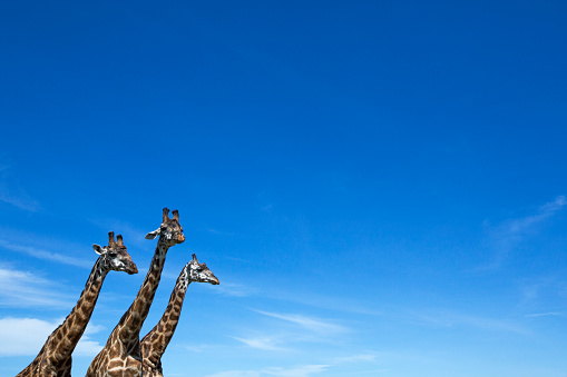 Giraffe「Maasai giraffe standing together」:スマホ壁紙(14)