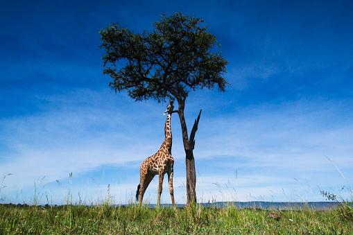 Giraffe「Maasai giraffe browsing on leaves of a tree」:スマホ壁紙(0)