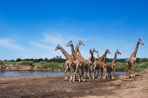 Giraffe「Maasai giraffe herd gathered at the edge of the Mara River」:スマホ壁紙(12)