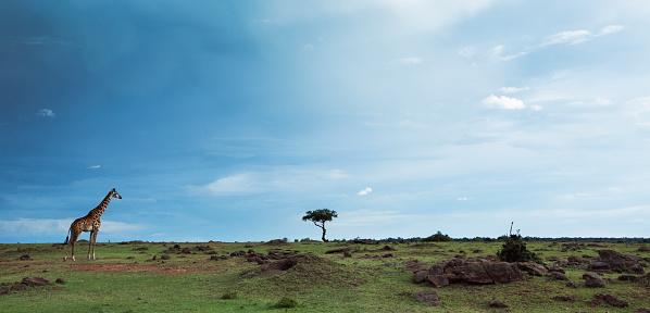 Single Tree「Maasai giraffe standing」:スマホ壁紙(0)