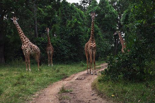 Giraffe「Maasai giraffes standing by woodland」:スマホ壁紙(16)