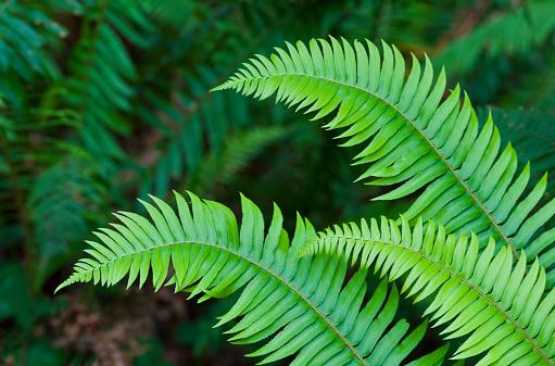 Frond「Sword Fern Fronds (Polystichum munitum) Redwood National Park」:スマホ壁紙(18)