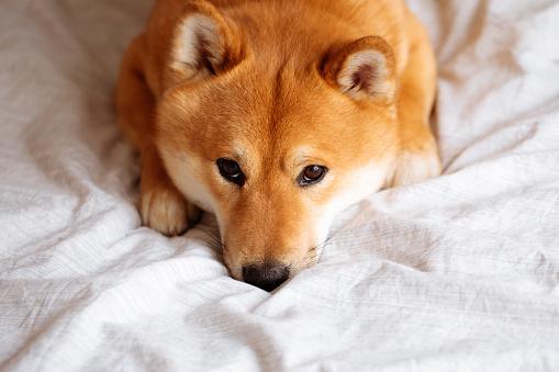 Sitting「Japanese Shiba Inu dog on the bed at home」:スマホ壁紙(2)