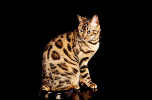 ベンガル猫「サイドのベンガルの純血種のネコます。」:スマホ壁紙(9)