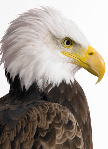 Beak「Side View of a Bald Eagle Against a White Background」:スマホ壁紙(14)