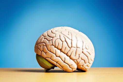 Cerebellum「Side view of model brain on blue」:スマホ壁紙(17)
