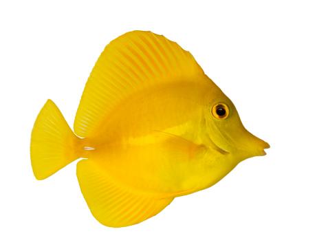 魚・熱帯魚「Side view of a Yellow Tang」:スマホ壁紙(0)