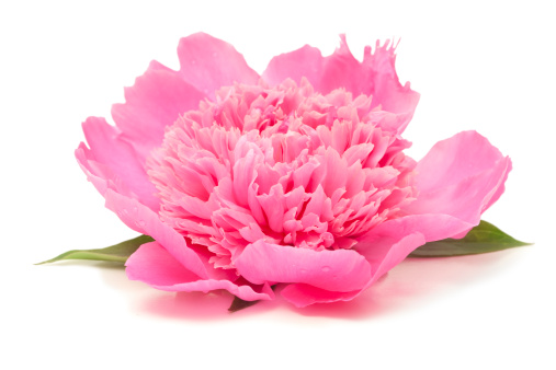 Clipping Path「Side View of Pink Peony Flower Isolated on White」:スマホ壁紙(6)