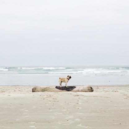 Haystack Rock「Side view of pug dog standing on driftwood on beach, California, America, USA」:スマホ壁紙(4)