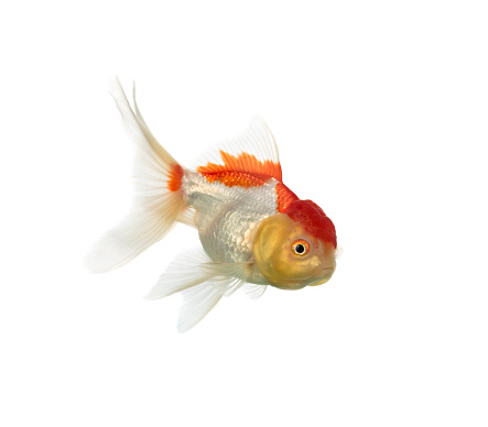 Goldfish「Side view of a lion's head goldfish isolated on white」:スマホ壁紙(4)