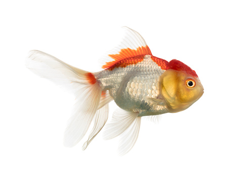 Goldfish「Side view of a lion's head goldfish isolated on white」:スマホ壁紙(2)