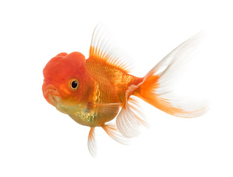 Goldfish「Side view of a Lion's head goldfish isolated on white」:スマホ壁紙(3)
