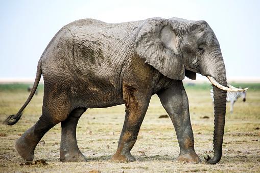 Elephant「Side view of elephant, Amboseli National Park, Kenya」:スマホ壁紙(4)