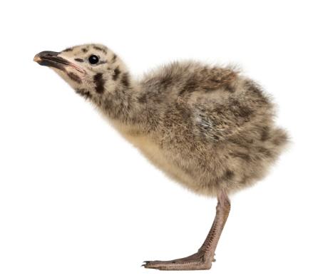 Herring Gull「Side view of an European Herring Gull chick」:スマホ壁紙(9)