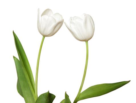 チューリップ「サイドの 2 つの白のチューリップ、絶縁型」:スマホ壁紙(0)