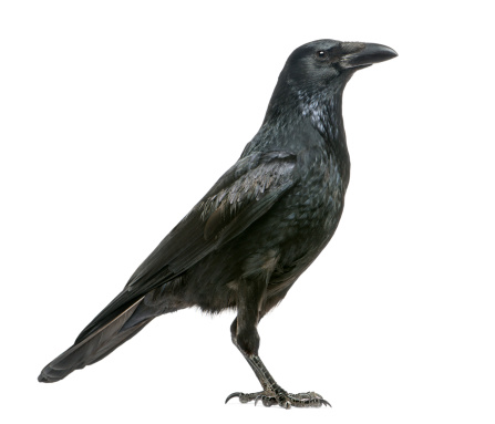 Belgium「Side view of a Carrion Crow, Corvus corone」:スマホ壁紙(0)