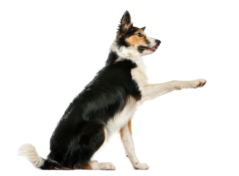 Belgium「Side view of a Border collie pawing up」:スマホ壁紙(12)