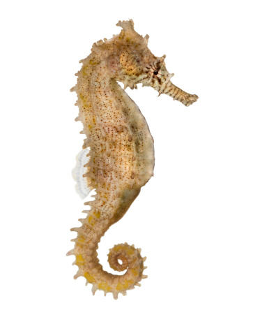 Sea Horse「Side view of a Common Seahorse」:スマホ壁紙(14)