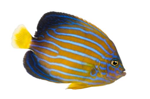 魚・熱帯魚「Side view of a Northern Angelfish」:スマホ壁紙(16)