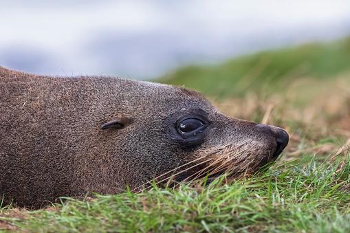 Sea Lion「Oceania, New Zealand, South Island, Southland, Otago, Moeraki, Katiki Point, Close-up of New Zealand sea lion (Phocarctos hookeri) resting on grass」:スマホ壁紙(7)