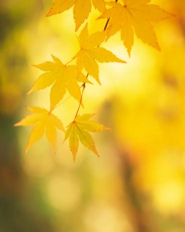 Japanese Maple「Yellow leaves」:スマホ壁紙(12)