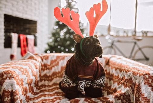 reindeer「Cute Dog Dressed Up For Christmas Day」:スマホ壁紙(5)
