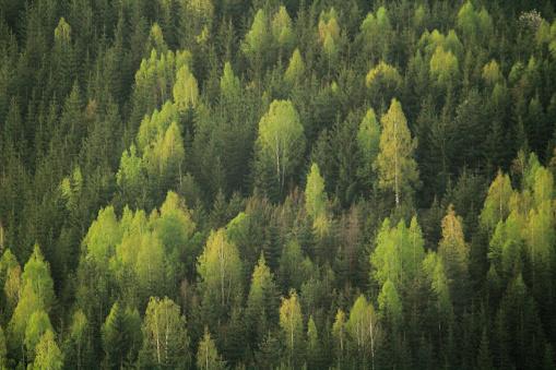 常緑樹「松の林」:スマホ壁紙(1)