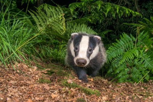 Fairy Tale「Badger cub in oak woods」:スマホ壁紙(11)