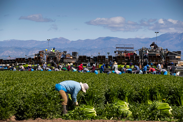 Agriculture「Agriculture Workers, Deemed Essential, Continues Working In The Fields In Oxnard, California」:写真・画像(0)[壁紙.com]