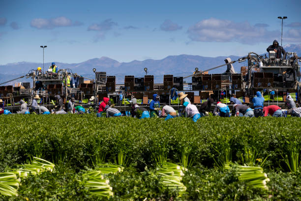 Agriculture Workers, Deemed Essential, Continues Working In The Fields In Oxnard, California:ニュース(壁紙.com)
