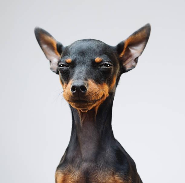 Cute miniature pinscher dog:スマホ壁紙(壁紙.com)