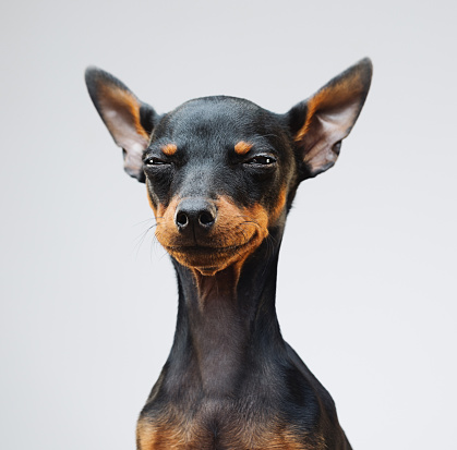 Animal Ear「Cute miniature pinscher dog」:スマホ壁紙(1)