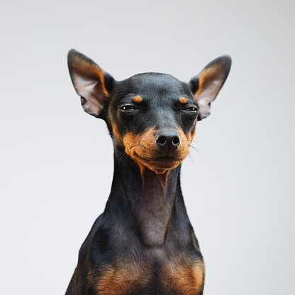 Displeased「Cute miniature pinscher dog」:スマホ壁紙(3)