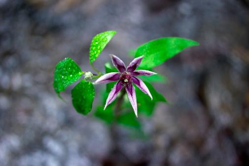Wabi Sabi「Clematis (Clematis florida), close-up」:スマホ壁紙(18)