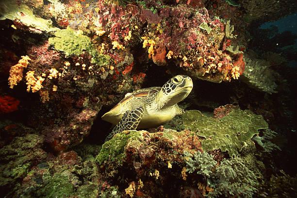 Pacific green sea turtle:スマホ壁紙(壁紙.com)