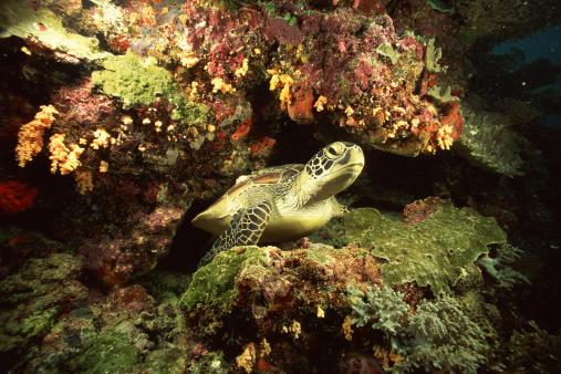 Green Turtle「Pacific green sea turtle」:スマホ壁紙(9)
