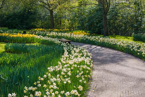 水仙「Sunlit path in daffodil (Narcissus) garden, Lisse, Holland」:スマホ壁紙(6)