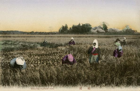 風景(季節別)「Japanese workers harvesting rice」:写真・画像(0)[壁紙.com]