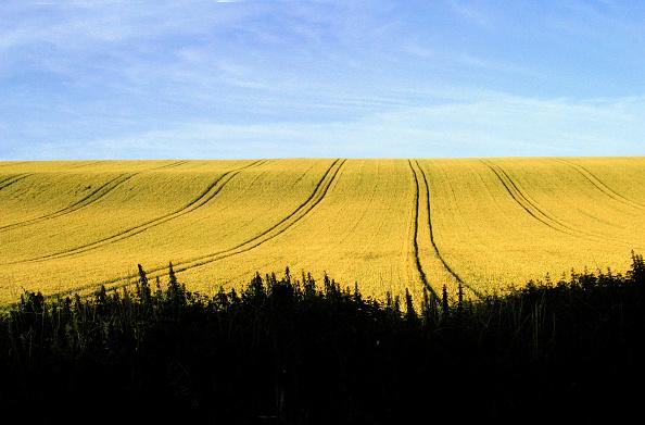 Oilseed Rape「Rural Wiltshire」:写真・画像(4)[壁紙.com]