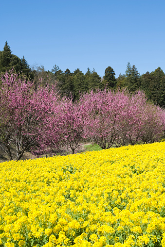 梅の花「Oilseed rape and plum blossoms」:スマホ壁紙(19)