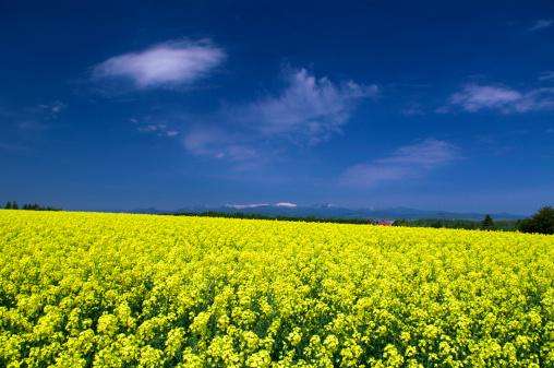 アブラナ「Oilseed rape field, Hokkaido Prefecture, Japan」:スマホ壁紙(3)