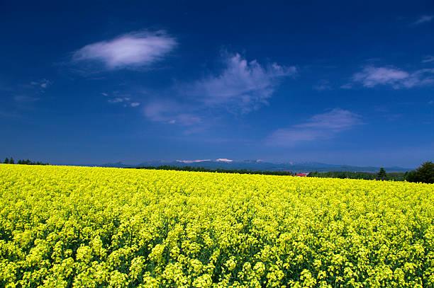 Oilseed rape field, Hokkaido Prefecture, Japan:スマホ壁紙(壁紙.com)